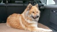 Kutya fekhely, szállítás